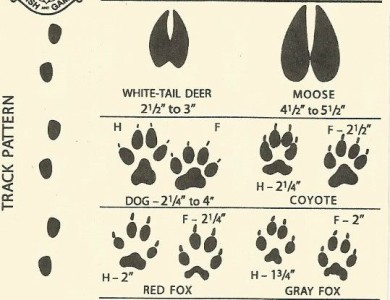 white tail deer to gray fox tracks