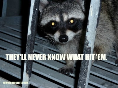ROBBER RACOON